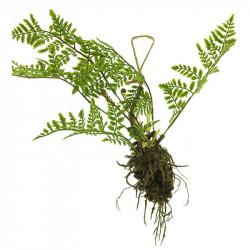 Ormbunke hänger m rötter, 61cm, konstgjord växt