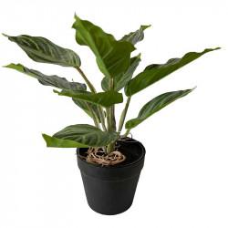 Kinesisk vintergröna växt, randiga blad, 25cm, konstgjord vä