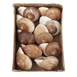 Äkta snäckskal i en låda, 10 st.
