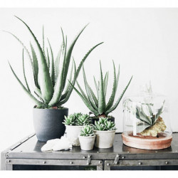 Aloe vera plante i potte
