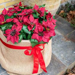 Julestjerne buket, rød, 83cm, kunstig blomst